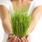 How To Grow Wheatgrass – Growing Wheatgrass 101