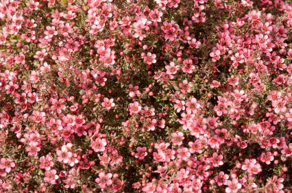 Manuka Flowers